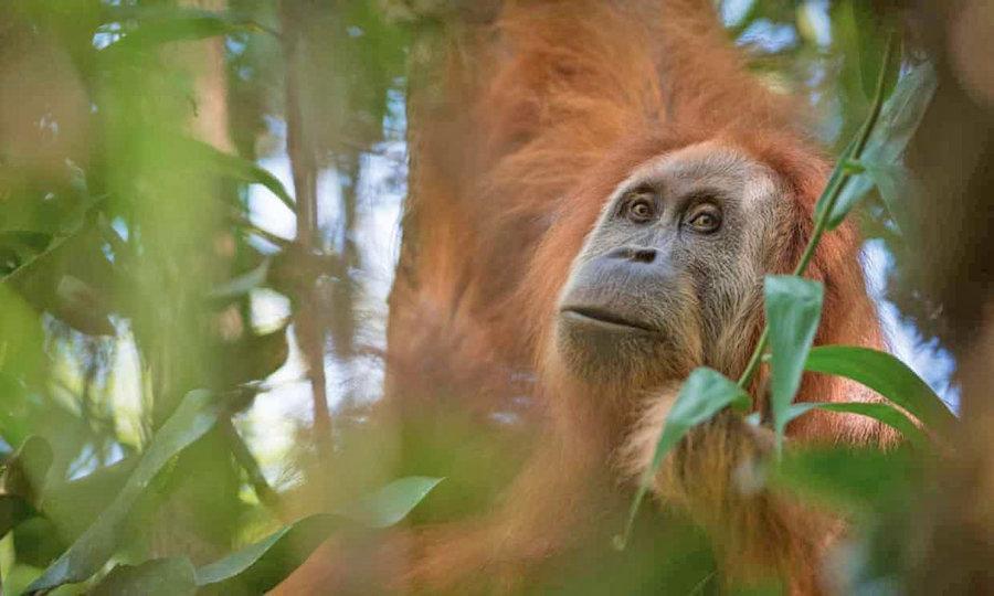 نادرترین گونه اورانگوتان دنیا قربانی نیروگاه چینی می گردد